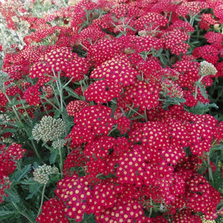 ACHILLEA millefolium 'Paprika' - Røllike