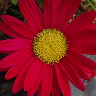 TANACETUM coccineum 'Duro'  (Chrysanthemum) - Rosenkrave
