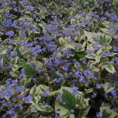 BRUNNERA macrophylla 'Variegata' - Kærmindesøster