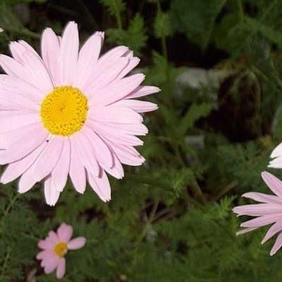 TANACETUM coccineum 'Robinsons Rosa'  (Chrysanthemum) - Rosenkrave