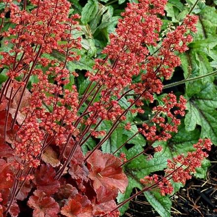 HEUCHERA hybrid 'Cherry Cola' (Alunrod)