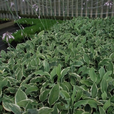 HOSTA hybrid 'Regal Splendor' - Funkia