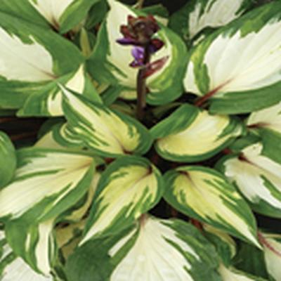 HOSTA hybrid 'Rasberry Sundae' ® - Funkia