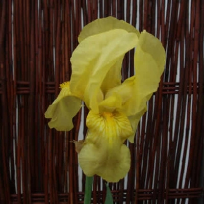IRIS germanica 'Sangreal' - Iris