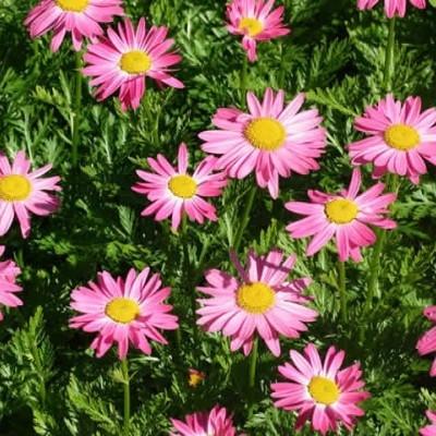 TANACETUM coccineum 'Laureen' (Chrysanthemum) - Rosenkrave