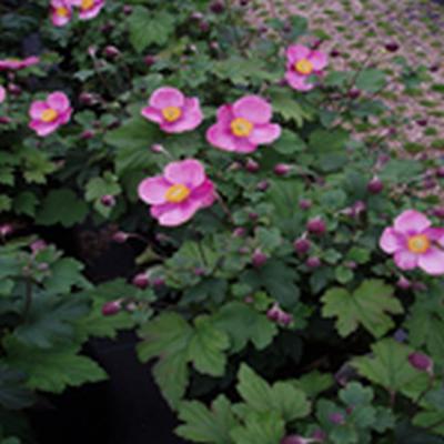 ANEMONE hupehensis 'Splendens' - Anemone