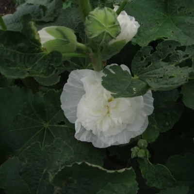 ALCEA rosea 'Pleniflora' Hvid (Althaea) (Stokrose)