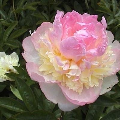 PAEONIA lactiflora 'Raspberry Sundae' - Silkepæon