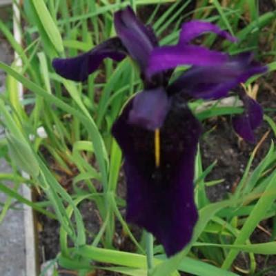 IRIS chrysographes 'Black Form' - Iris