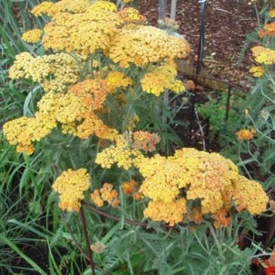 ACHILLEA millefolium 'Terracotta' (Røllike)