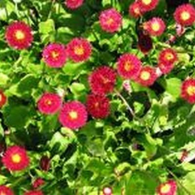 BELLIS perennis 'Planet Red' - Tusindfryd