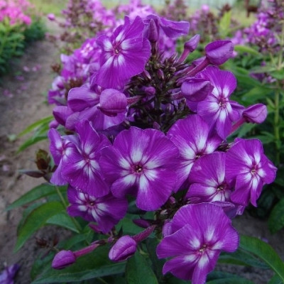 PHLOX paniculata 'Adessa®Special Purple Star' - Høstfloks