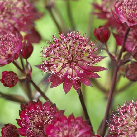 ASTRANTIA hybrid 'Star of Love'  ® - Stjerneskærm