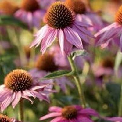 ECHINACEA purpurea 'Wild Berry'® (Rudbeckia) - Solhat (MS)