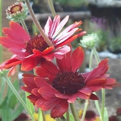 GAILLARDIA aristata 'Burgunder' - Kokardeblomst