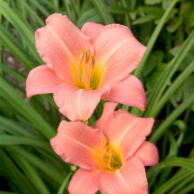 HEMEROCALLIS hybrid 'Love That Pink' - Daglilje
