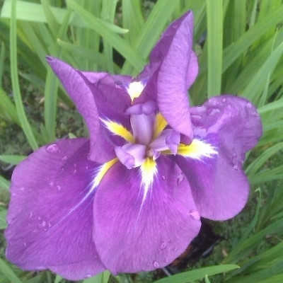 IRIS ensata 'Gusto' - Japansk Iris