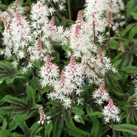 TIARELLA cordifolia 'Spring Symphony' ® - Skumblomst