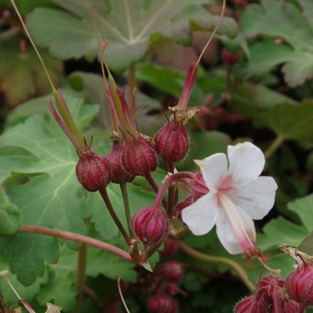GERANIUM cantabrigiense 'Biokovo' (Storkenæb)