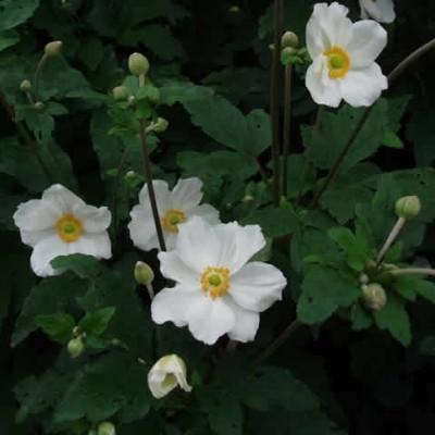 ANEMONE japonica 'Honorine Jobert' (Høstanemone)