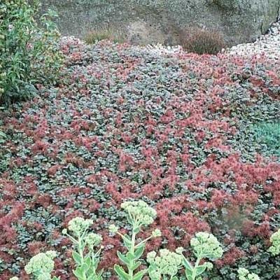 ACAENA microphylla 'Kupferteppich' - Tornnød