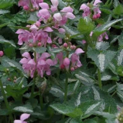 LAMIUM maculatum 'Shell Pink' - Plettet Tvetand