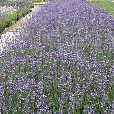 LAVANDULA angustifolia 'Munstead' (Lavendel)