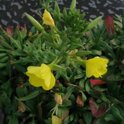 OENOTHERA macrocarpa (missouriensis) - Krybende Natlys