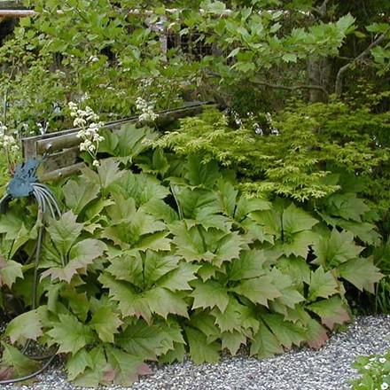 RODGERSIA podophylla - Bronzeblad