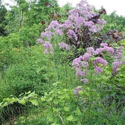 THALICTRUM aquilegifolium 'Purpureum' - Akelejefrøstjerne