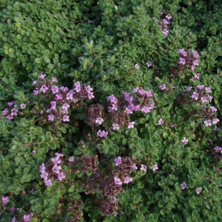 THYMUS praecox var. pseudolanuginosus - Lådden Timian