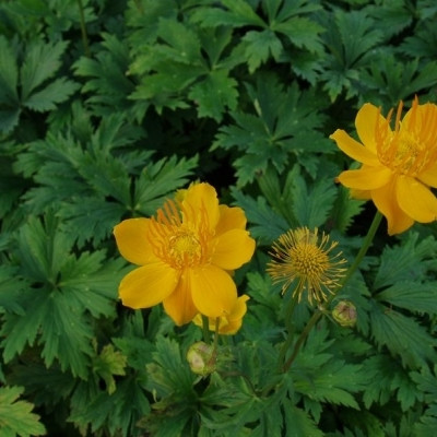 TROLLIUS chinensis 'Golden Queen' - Kinesisk Engblomme