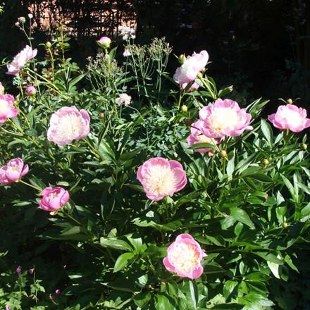 PAEONIA lactiflora 'Bowl of Beauty' (Silkepæon)