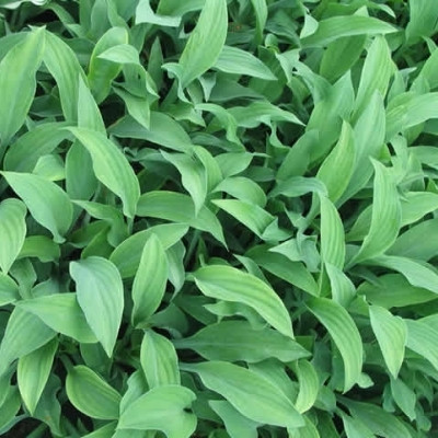 HOSTA hybrid 'Krossa Regal' - Funkia