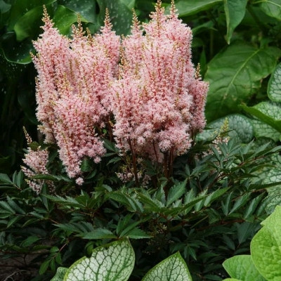 ASTILBE arendsii 'Look At Me' - Astilbe