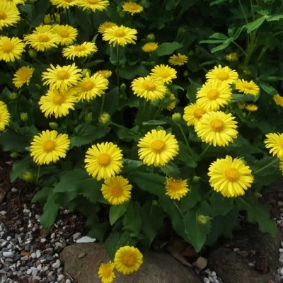 DORONICUM orientale 'Little Leo' - Gemserod