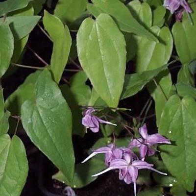 EPIMEDIUM grandiflorum 'Violaceum' - Bispehue