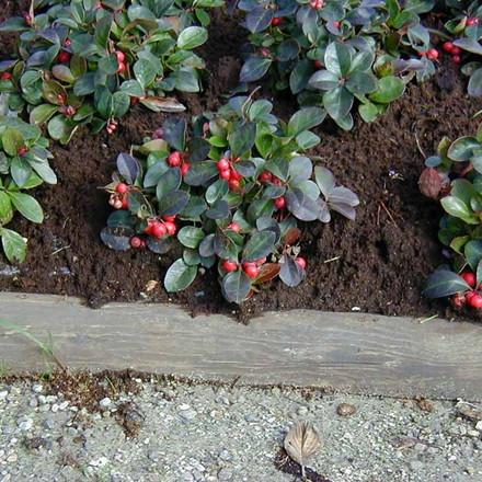 GAULTHERIA procumbens (surbundsplante-stedsegrøn)- Bjergte