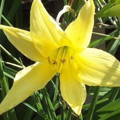 HEMEROCALLIS citrina - Daglilje