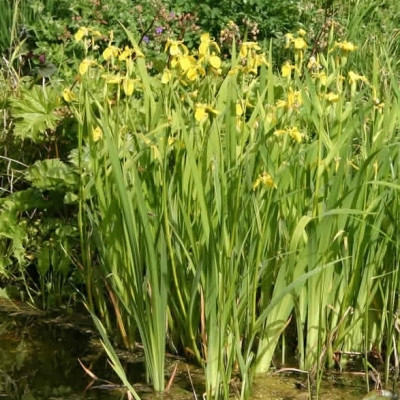 IRIS pseudocorus - Iris