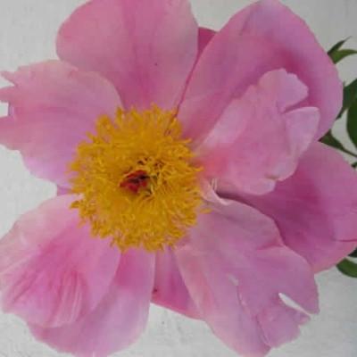 PAEONIA lactiflora 'Nymphe' - Silkepæon