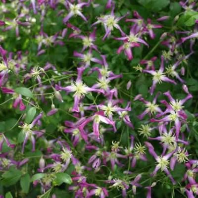 Clematis 'Triternata Rubromarginata'  salgshøjde 20-50 cm..(NP)