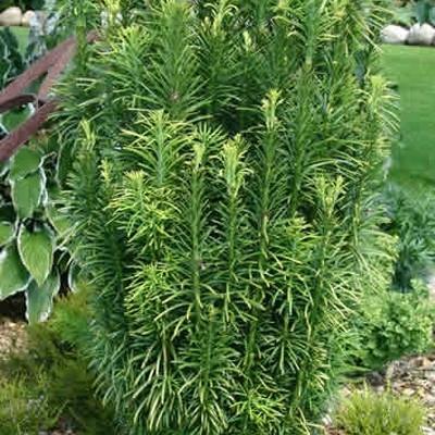 Cephalotaxus harringtonia 'Fastigiata' - salgshøjde.: 25-30 cm. - Blommetaks (NP)