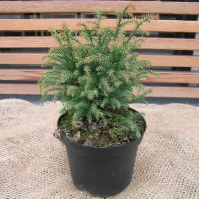 Cryptomeria japonica 'Vilmoriniana Gold' - salgshøjde.: 15-25 cm.  - Kryptomeria