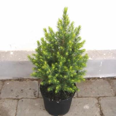 Picea glauca 'Daisy's White' - salgshøjde.: 20-30 cm. - Dværggran (NP)