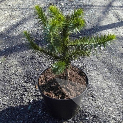 Araucaria araucana - salgshøjde.:30-40 cm. - Abetræ
