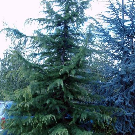 Cedrus deodare - salgshøjde.: 40-70 cm. - Himalajaceder