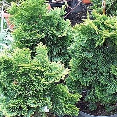 Chamaecyparis obtusa 'Nana Gracillis' - salgshøjde.: 10-20 cm. - Solcypres (NP)