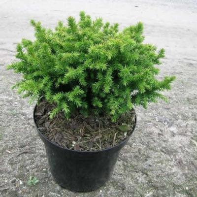 Cryptomeria japonica 'Vilmoriniana' - salgshøjde.: 15-25 cm. - Kryptomeria (NP)