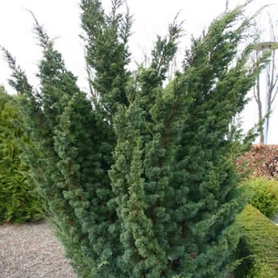 Juniperus chinensis 'Blaauw' - salgshøjde.: 15-30 cm. - Enebær (NP)
